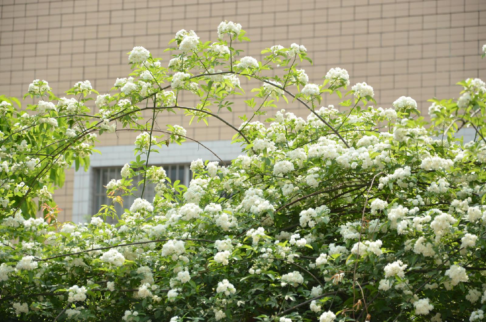 近小学围栏上的七里香花儿盛放了-七里香花 七里香花怎么养 七里香
