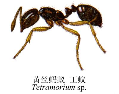 黄丝蚂蚁是蚂蚁的一种,是农作物的害虫,对刚生长的幼苗有极其杀伤力