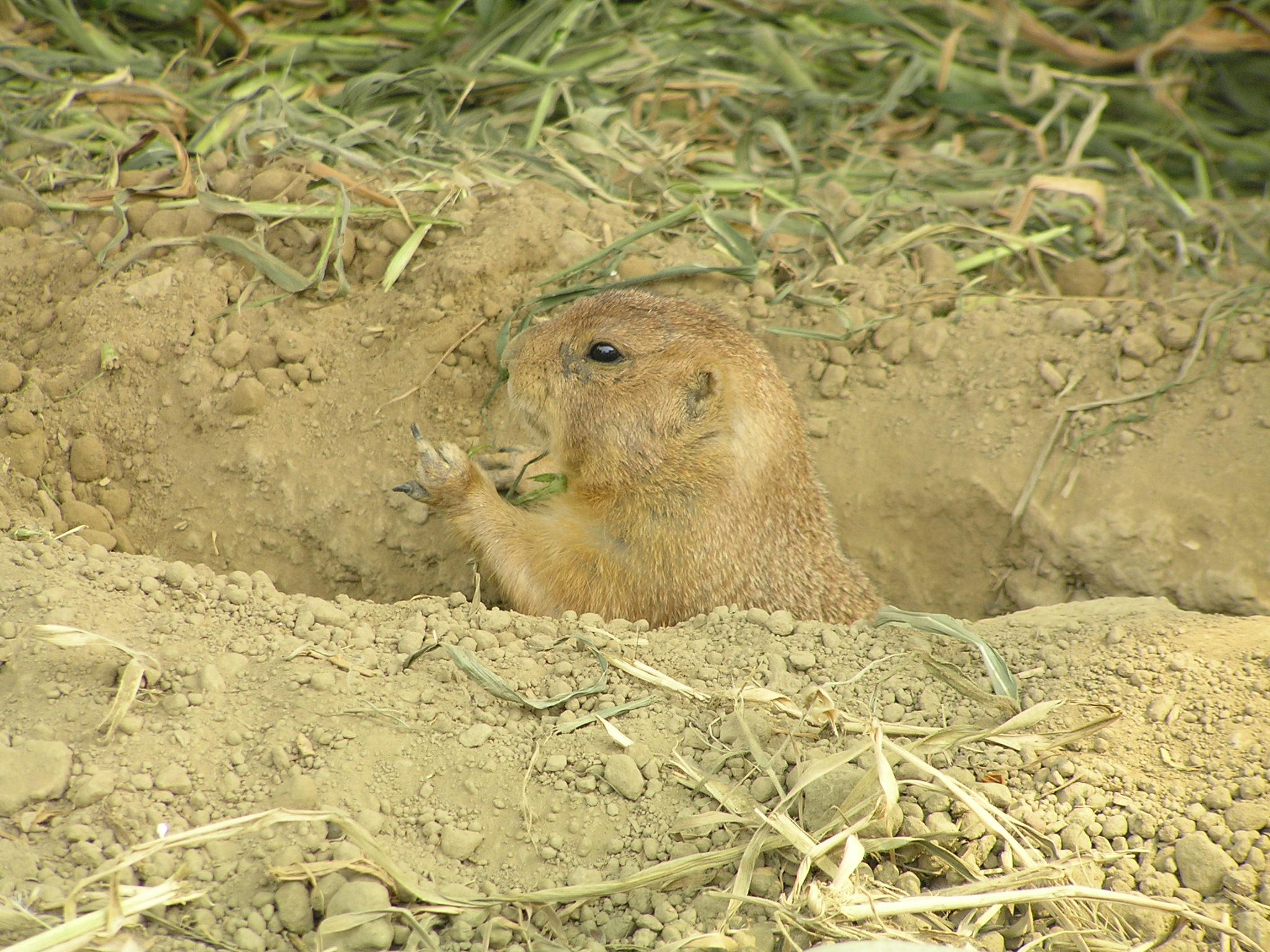 草原犬鼠 高清图片