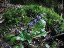 匙叶草属植物