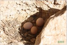 遥远村庄跑山鸡蛋