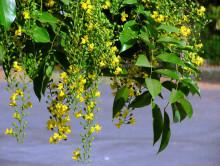 印度小叶紫檀开小黄花