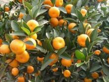 南丰橘种植园