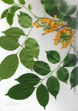 印度小叶紫檀花叶样本