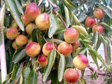 梨枣(图2)