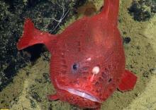 罕见变色鮟鱇鱼