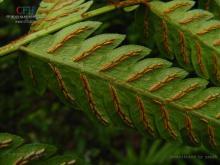 狗脊属植物