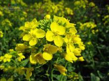 芸薹子植物形态-油菜