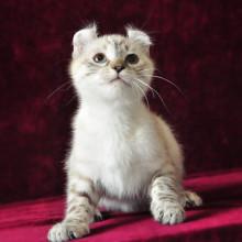 美国卷耳猫 百度百科