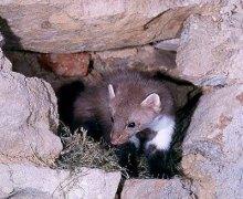 住在石洞里的石貂