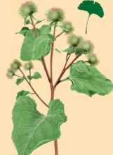 牛蒡子-原植物(图4)