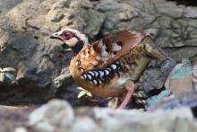 褐胸山鹧鸪图册图片