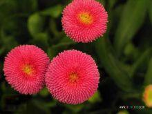 红色的雏菊
