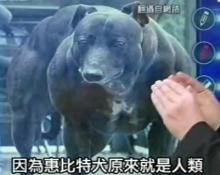 惠比特犬 介绍 惠比特犬选择5