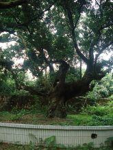 千年母树—仙婆果