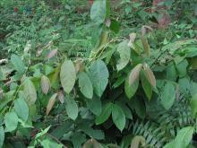 翅子藤属植物