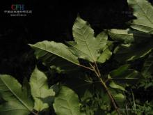 半枫荷属植物