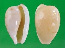 小无齿宝螺(上海冈瓦纳自然网)
