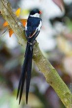 针尾维达鸟