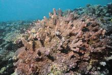 蕈状杯形珊瑚