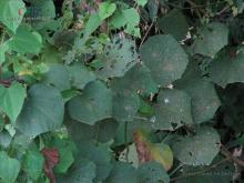 翅果麻属植物