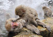 温泉雪猴生活照