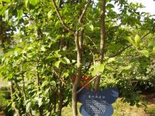 普陀山鹅耳枥树