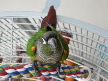 绿颊锥尾鹦鹉指名亚种
