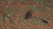 缨翅夜鹰豚鹿生长在哪图片