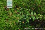 细叶水团花枝叶