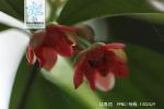 红毒茴花果