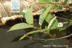 川滇桤木花果