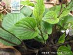 鸡腿堇菜枝叶