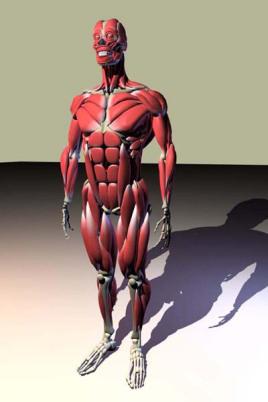 人体肌肉骨骼模型图片
