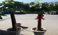 东郊花卉独杆发财树