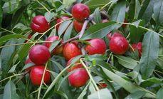 金双马种植园油桃采摘1斤