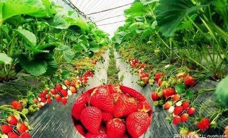 阳光草莓采摘园