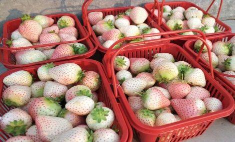 胶源大型草莓采摘园