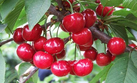 老五樱桃采摘园