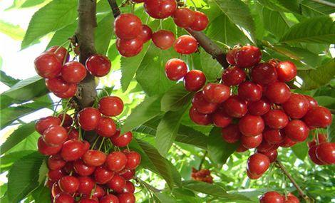 阳光国际辰辰有机樱桃采摘园