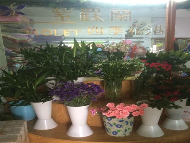 紫罗兰四季花港鲜花