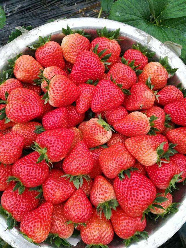 杨储草莓园
