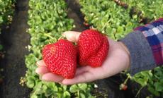金林草莓采摘种植园