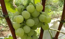 绿野居葡萄采摘园酔金香葡萄