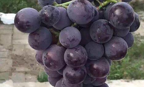 八里香无公害葡萄采摘园