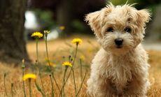 华福豆丁宠物小型犬洗澡