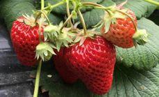 大福草莓采摘园