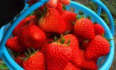 野谷有机富硒草莓采摘