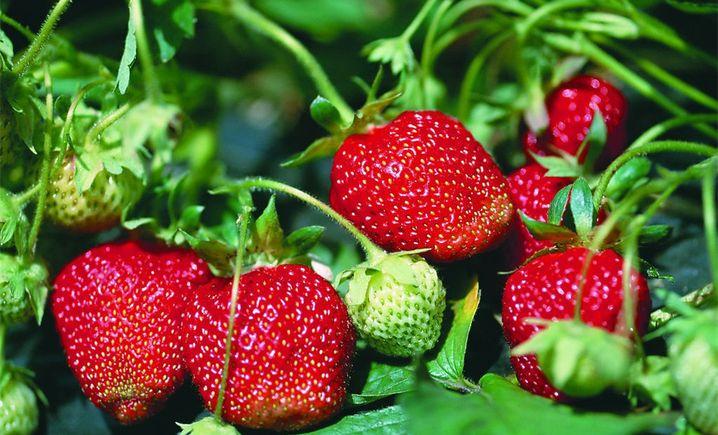 凤冠奶油草莓基地