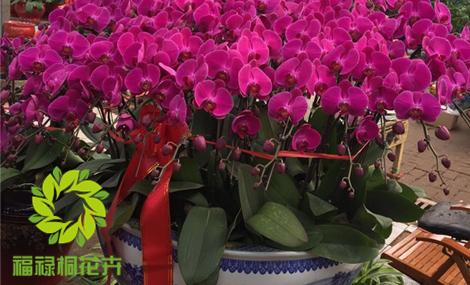 福禄桐花卉